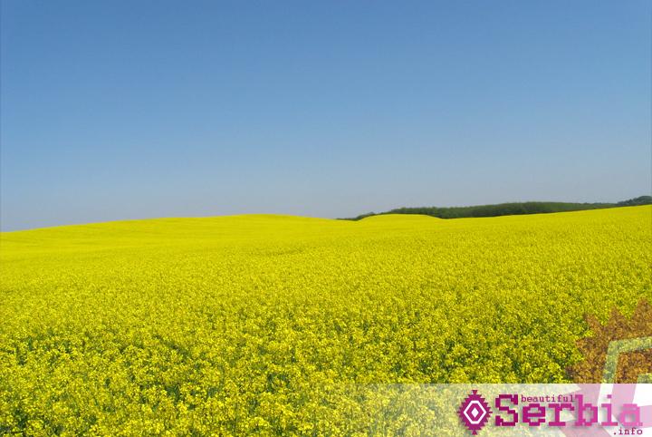 polje slacice alibunar Field mustard,  Alibunar