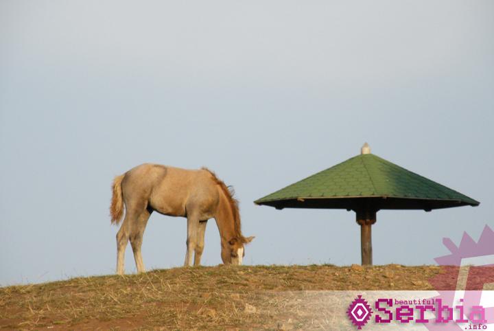 konj zlatibor Zlatibor, Tornik
