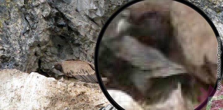 beloglavi-sup-uvac