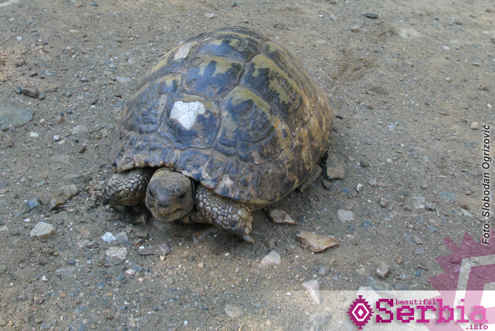 kornjaca Hilandar