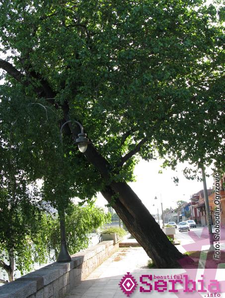 nis krivo drvo1 Grad Niš ili KonstantiNišopolj